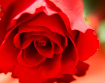 Red Rose Photo, Macro Photography, Fine Art, Nature Photography, Flower, Bedroom decor, Wall Art, Close up, Botanic Photography, download