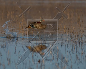 Original wildlife photography captured in natural setting rendering an image of a Wood Duck drake taking off in the marsh. Duck photos