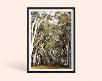 Australian Native Eucalyptus Tree   Country Wall Decor   Australia Nature Landscape Photography Print   Snow Gum Tree   Poster Print
