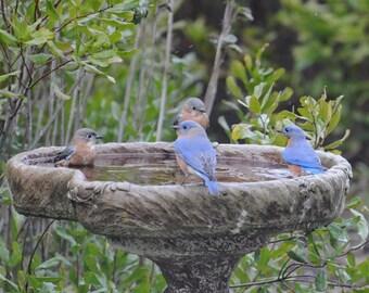 Bluebird Photography, Nature Photograph, Animal Wall Art, Birds in Birdbath, Blue and Green Decor, Wildlife Art, Bluebird Picture, Cabin Art