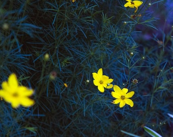 Blue Yellow Summer Flowers, Garden, Dark, Dreamy Flower Scene, Flower Photograph