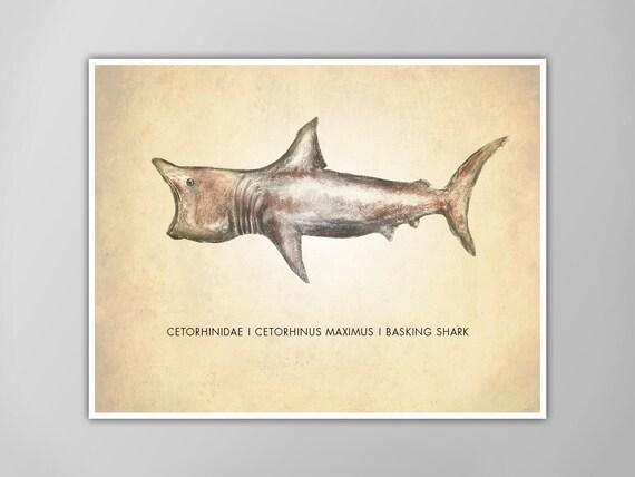 Riesenhai Kunstdruck Hai Kunstdruck Naturgeschichte Poster