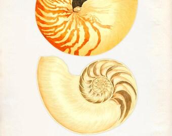 Vintage Sea Shell Nautilus Pompilius Drucken 8 x 10-P260