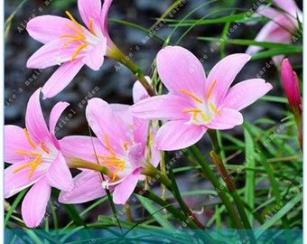 2 Bulbs Rare Zephyranthes Bulbs Rain Lily Rhizome Plant (Not Zephyranthes Seeds) -Variety 21