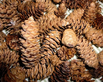 White Spruce Cones 100+ Native Maine Tree Craft Supply Wreaths Small Pine Cones