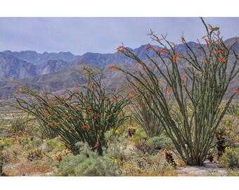Desert Photography, Desert Decor, Ocotillo Plants, Anza-Borrego Park, Flowering Ocotillos, Large Wall Art, Green Yellow Blue Red