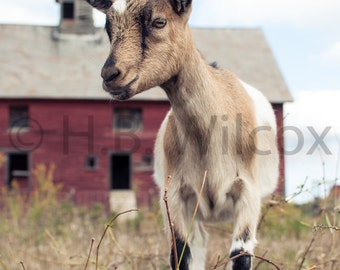 Alpine Doeling, Goat Farm, Photo, Fine Art Print