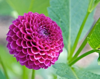 Pink Dahlia Photograph - Flower Print - Nature Photography