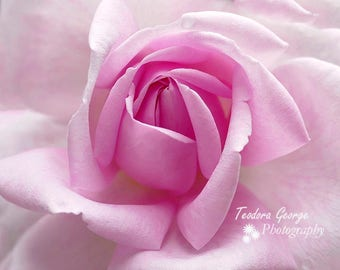 Digital Download Pink Rose Photo Print, Botanical, Flower Photography