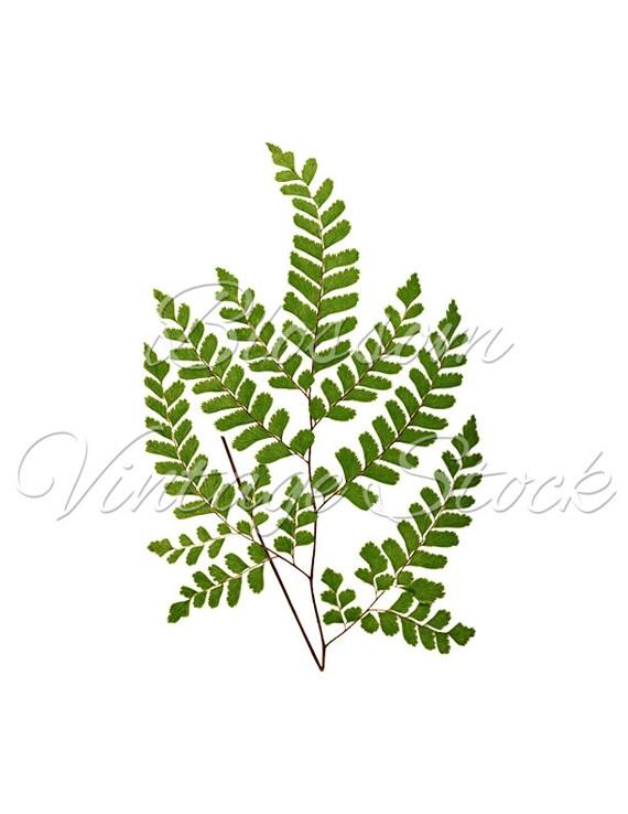 Leaf Botanical Print Vintage Wall Decor Green Leaves PNG