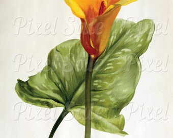 CALLA instant download, wedding clipart, digital flowers, yellow JPG digital download no.017
