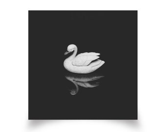 Black Swan Reflection - Photographic Print