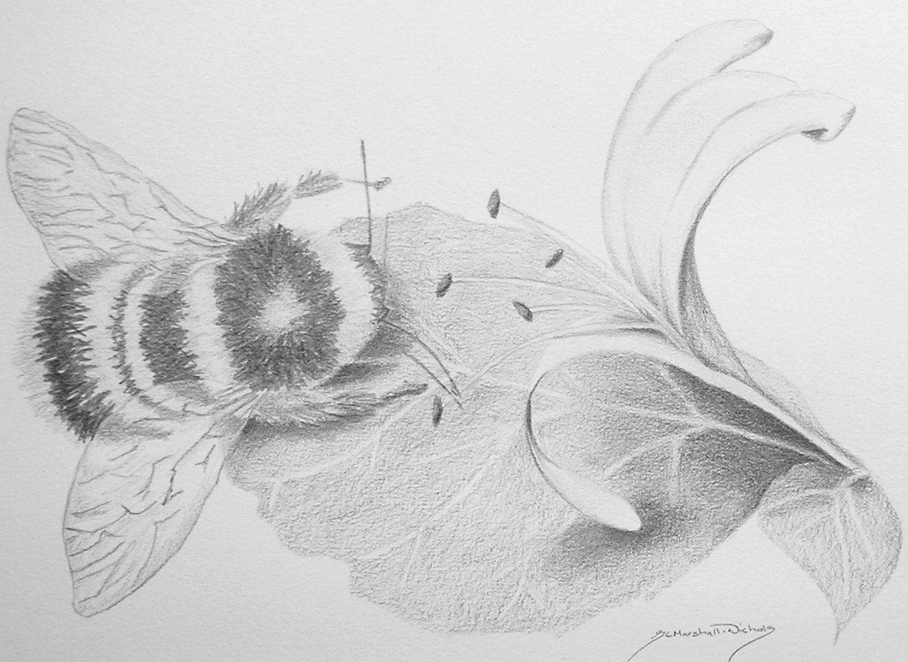 Originali disegni a matita ape sul caprifoglio fiori e for Disegni di fiori a matita