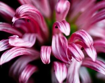 Pink Petals 8 x 10 print
