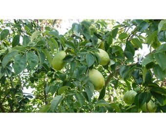 Paw Paw Tree, 2 Potted Plant in 1 Gallon Containers, Healthy Plants, Strong Roots, Fruit Baring Tree, Poor Man's Banana, Asimina triloba