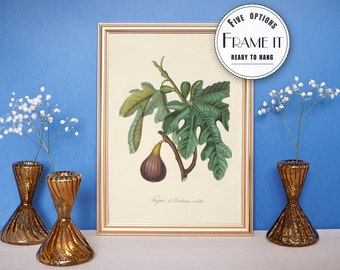 "Vintage illustration of  a Fig Tree - framed fine art print, botanical art, home decor 8""x10"" ; 11""x14"", FREE SHIPPING - 86"