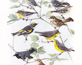 1917 Bird Print - Plate 94 - Warblers - Vintage Antique Art Illustration by Louis Agassiz Fuertes 100 Years Old