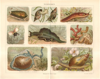 1890 Original Antique Chromolithograph of Sea Snails and Freshwater Snails