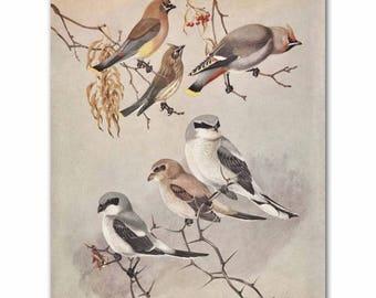 "Vintage Bird Art (Rustic Country Wall Decor, Vintage Birds Print) --- ""Shrikes, Bohemian & Cedar Waxwings"" No. 78"