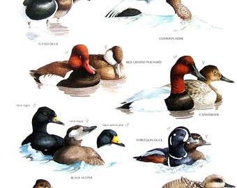 Vintage Bird Print - Tufted Duck, Common Eider, Black Scoter, Marbled Teal, Casvasback, Red Crested Pochard- 1990 Vintage Book Page - 11 x 9