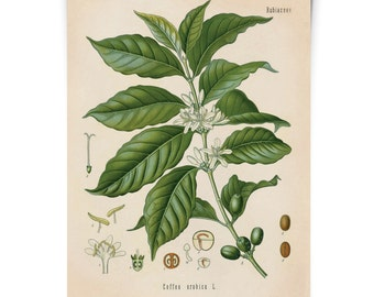 Coffee Bean Vintage Botanical Coffea Arabica Flower Print. Educational Chart Diagram Poster Pull Down Chart from Kohler's - CP289