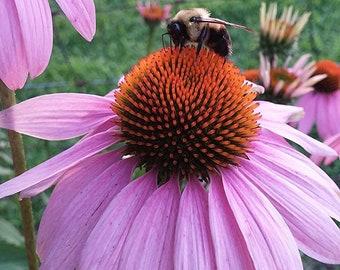PURPLE CONE FLOWER (Echinacea Purpurea) - 50+ Seeds - Heirloom -Organic - Medicinal - Herb