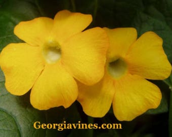 Thunbergia aurantiaca Gold Eyed Susan 10 seeds