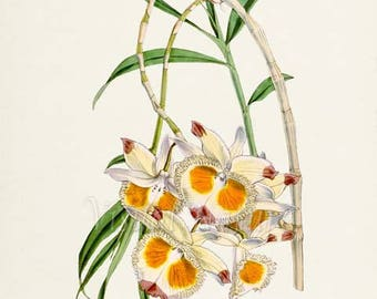 Devons Dendrobium Orchid Flower Art Print, Botanical Art Print, Flower Wall Art, Flower Print, Floral Print, Yellow White Orchid Flower