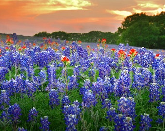 CANVAS Springtime Sunset in Texas- original photograph - Texas Wild Flowers Bluebonnets Landscape