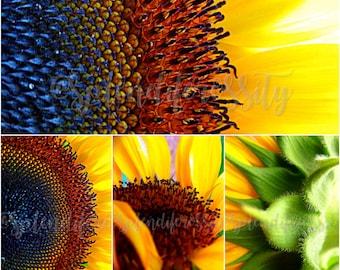 Sunflower Photography Prints