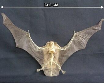 Chiroptera: Bat otomops formosus half skeleton-spread