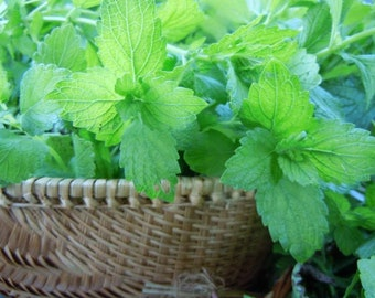 Lemon Balm Elixir: Relaxing + Uplifting Tonic for the Nervous System with Local Honey 4 oz