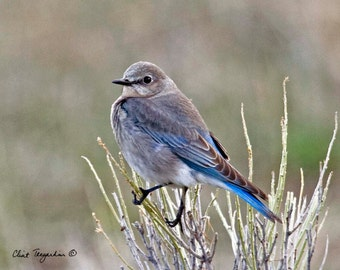 Mama Bluebird, Wildlife Photography