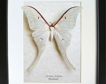Real Indian Moon Moth Actias Selene Entomology Collectible In Museum Quality Display
