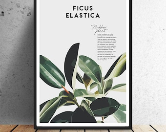 Poster, Ficus elastica, Rubber plant, botanical, urban jungle, residential trend, trend, plants, green, illustration, wall decoration, wall art