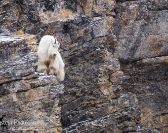 Mountain Goat 2