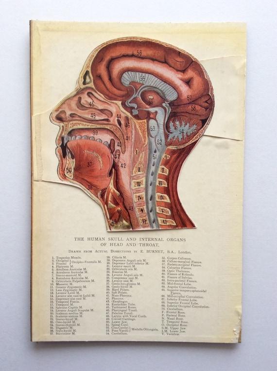 Vintage 1920 anatomía médica diagrama desplegable Bookplate