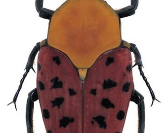 Supplies for your taxidermy artworks - dried insects - :  Lot of 2 flowerbeetles conradtia principalis UNMOUNTED A1 quality  FREE SHIPPING