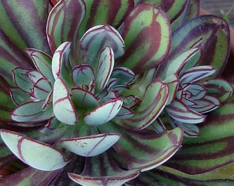 Painted Beauty Echeveria Echeveria Nodulosa Painted Lady Succulent Plant Live Succulents Plant Painted Echeveria Succulent Gift Room Decor