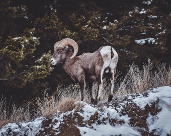 Big horn sheep print/post card