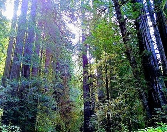 Quiet Giants - Scenic Photography - Redwood Forest, California