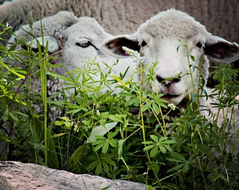 Nature Photography Two Lambs Whispering Grey Taupe Green Home Decor Fine Art Photography Colorado Sheep