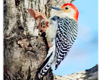 Red-Bellied Woodpecker, Wild Bird Photography - Nature, Animal Home Decor Fine Art Print or Note Cards