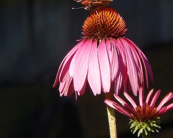 Painted Lady butterfly on a pink coneflower
