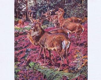 antique print red deer cervus elaphus 1903
