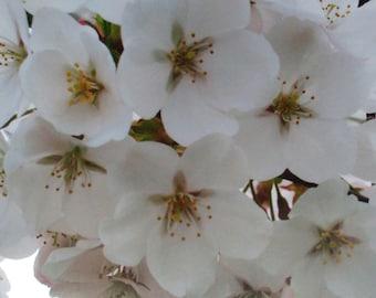 Photo: Cherry Blossoms