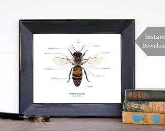 Home School Printable - Educational Art - A4 and 8x10 -Bee Anatomy, Montessori, Science, Bees, Insects, Nature Study, Entomology