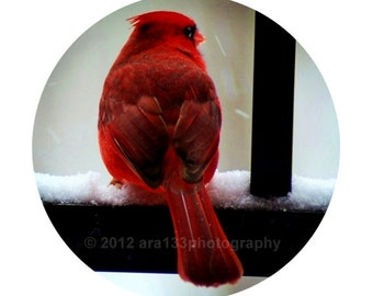 Ruby, Red, Christmas Home Decor - Cardinal Photograph, Red, Nature Photo, Winter,  Round Image on an 8x10 inch Print - Watcher in the Snow