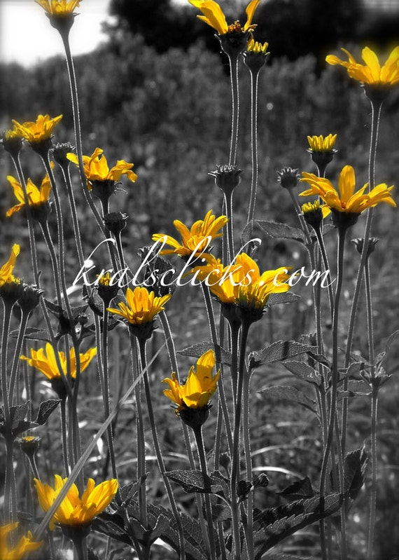 Wild yellow prairie flowers print black white and gray mightylinksfo