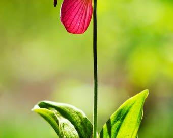 Orchid Photo, Lady Slipper, Flower Print, Flower Photography, Orchid Print, Lady Slipper Flower, Flower Picture, Picture of Lady Slipper